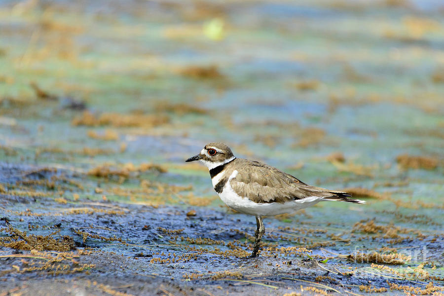 Killdeer Standing on Drained Lake by Ilene Hoffman