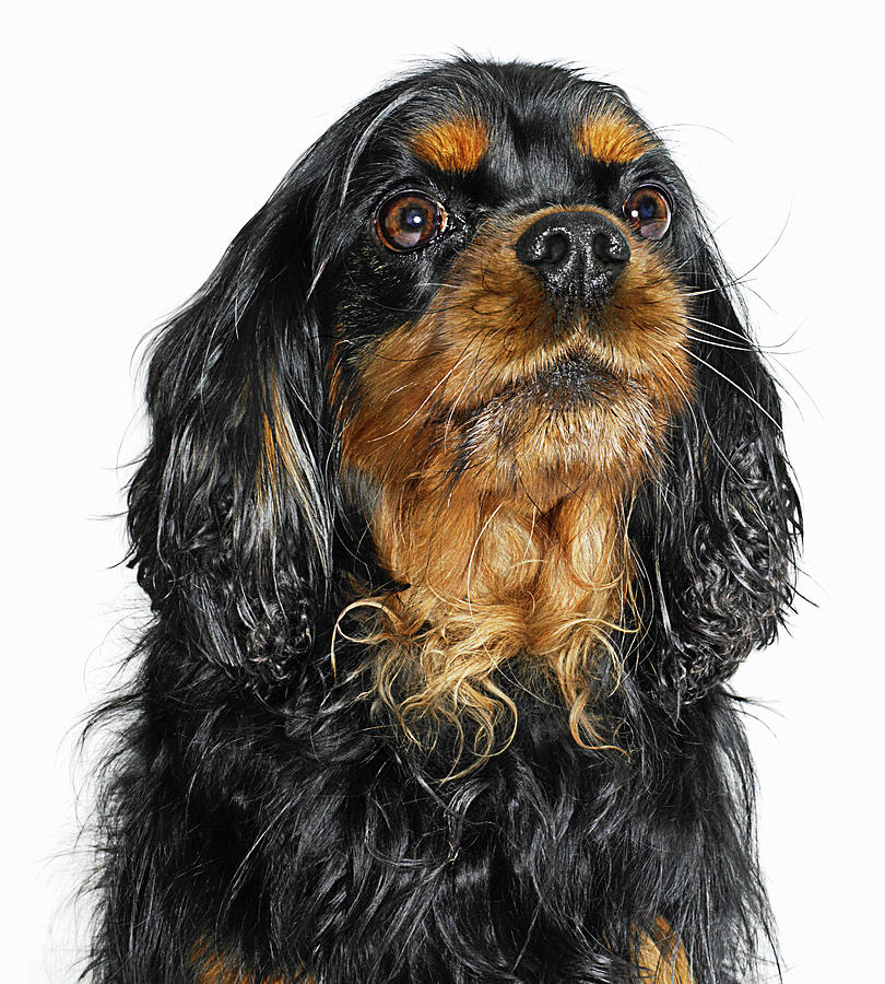King Charles Cavalier Portrait Photograph by Gandee Vasan