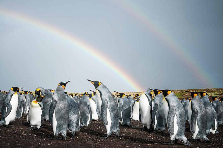 King Penguin Colony Under Rainbows Photograph by Tui De Roy