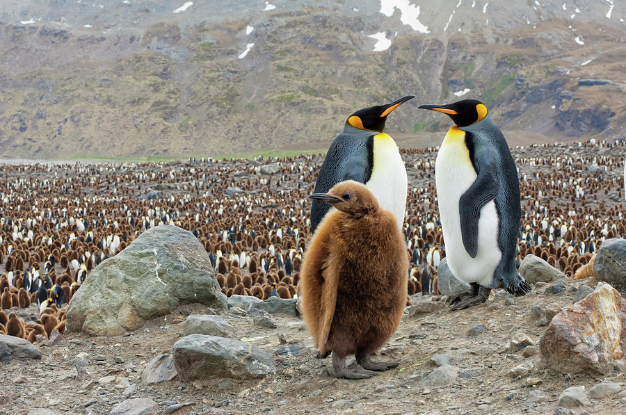 King Penguin Couple And Chick Photograph by Gabrielle Therin-weise