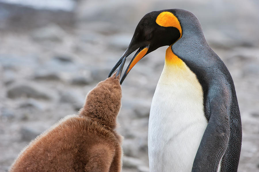 King Penguin Feeding A Chick Photograph by Gabrielle Therin-weise