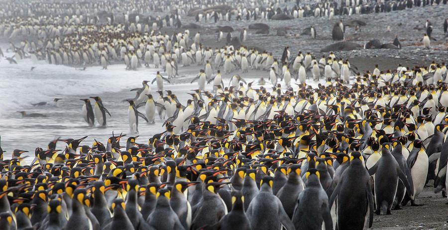 Atlantic Ocean Photograph - King Penguin Rookery At Salisbury by Tom Norring