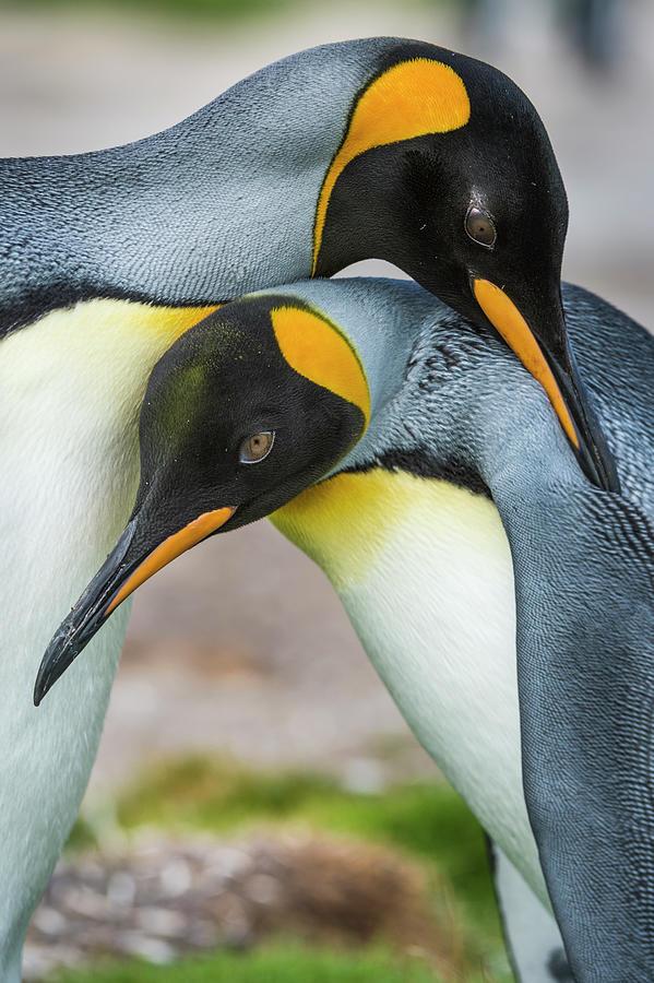 King Penguins Caressing Photograph by Tui De Roy