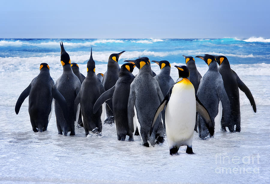 Strong Photograph - King Penguins Heading To The Water In by Kwest