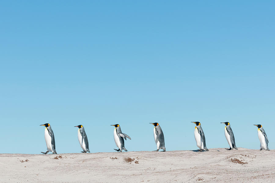 King Penguins March On Volunteer Beach Photograph by Tui De Roy