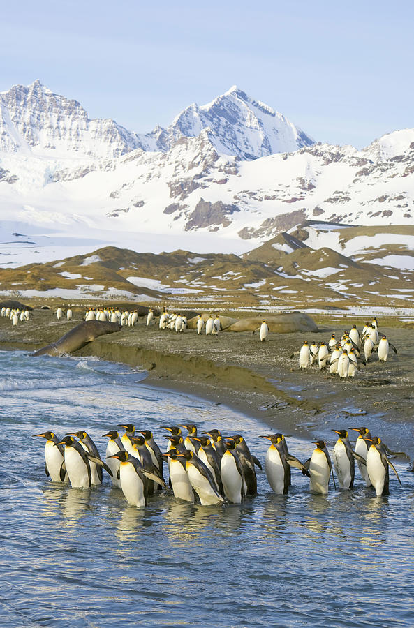 King Penguins Marching To Sea To Wash Photograph by Eastcott Momatiuk