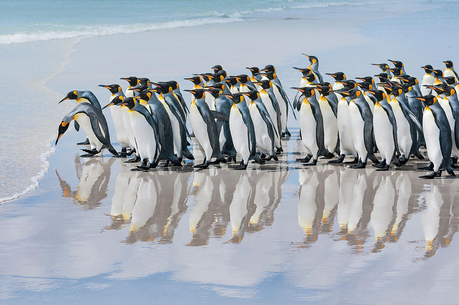 King Penguins Reflected On Beach Photograph by Tui De Roy