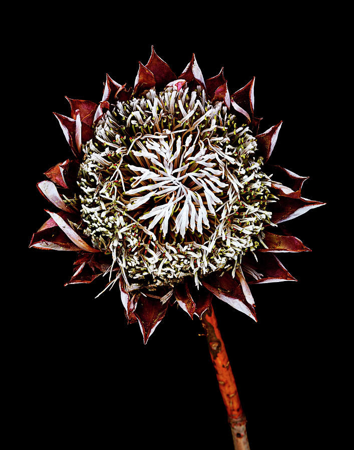 King Protea Top Photograph by Chris Stein