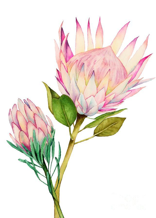 King Protea Watercolor Painting by Namibear