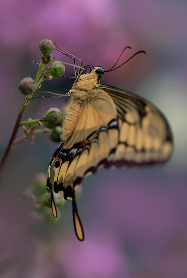 King Swallowtail by Jaroslaw Blaminsky