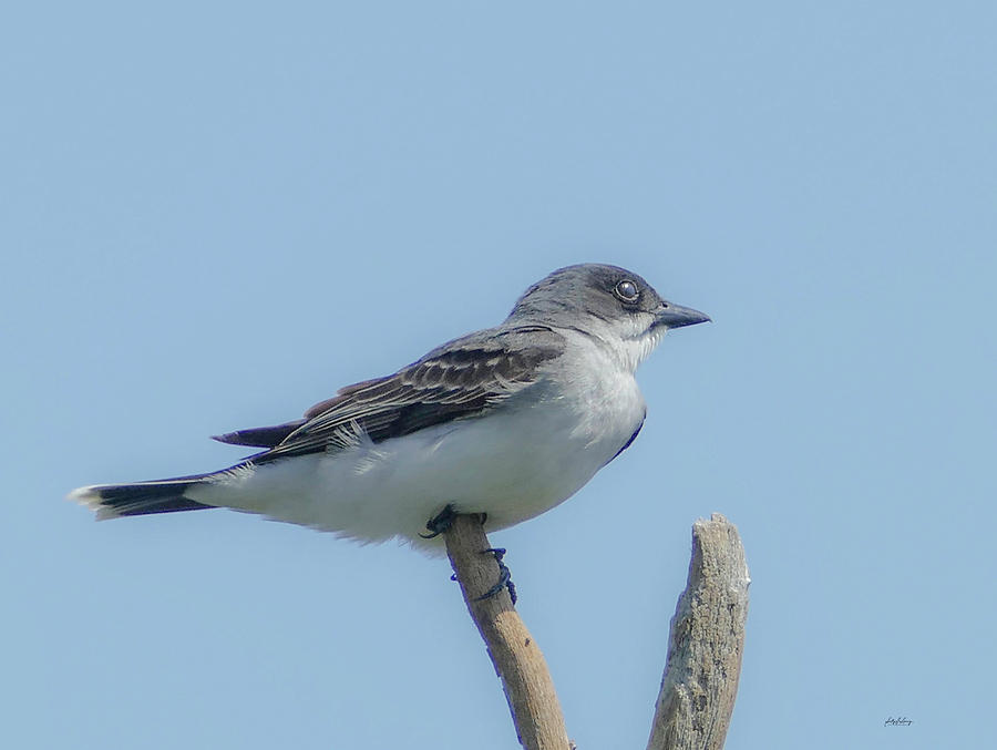 Kingbird at Happy Rock by Sally Sperry