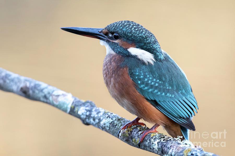 Kingfisher by Hernan Bua