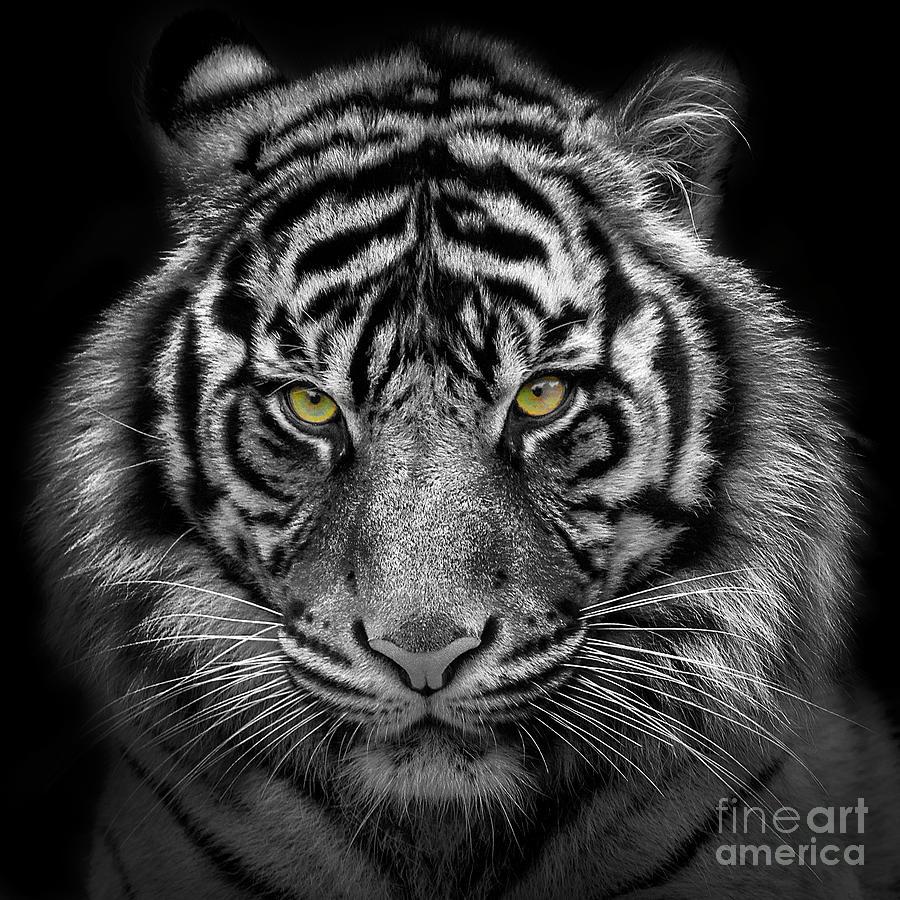 Kirana-Sumatran Tiger by Sonya Lang