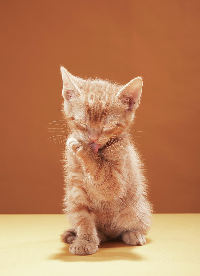 Kitten Grooming Photograph by Martin Poole
