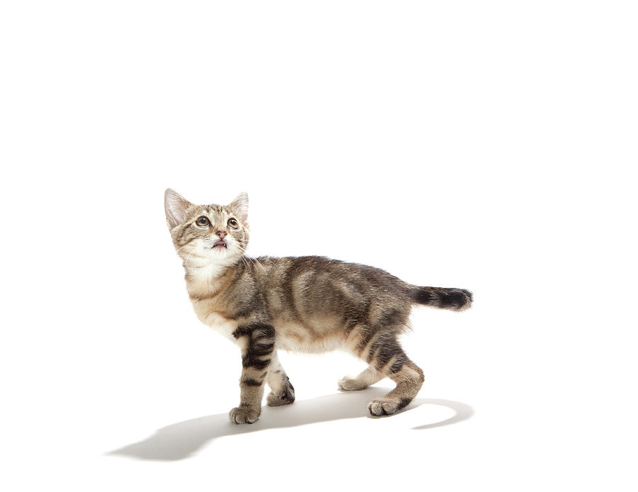 Kitten On White Background Photograph by Hollenderx2