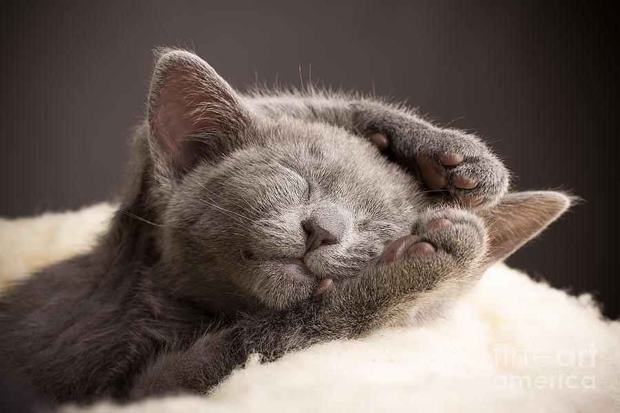 Pets Photograph - Kitten Sleeping, Russian Blue Cat by Gita Kulinitch Studio