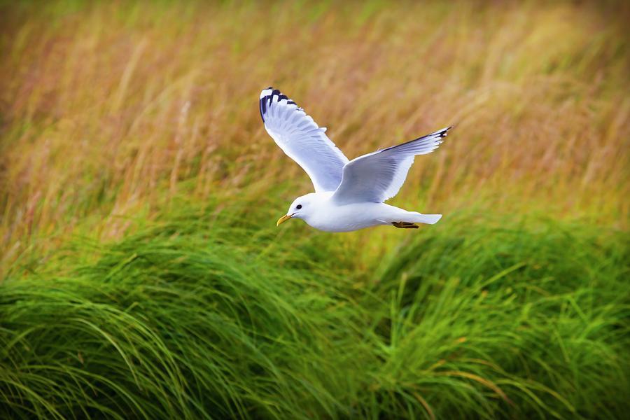 Kittiwake Rissa In Flight Photograph by Design Pics / Blake Kent