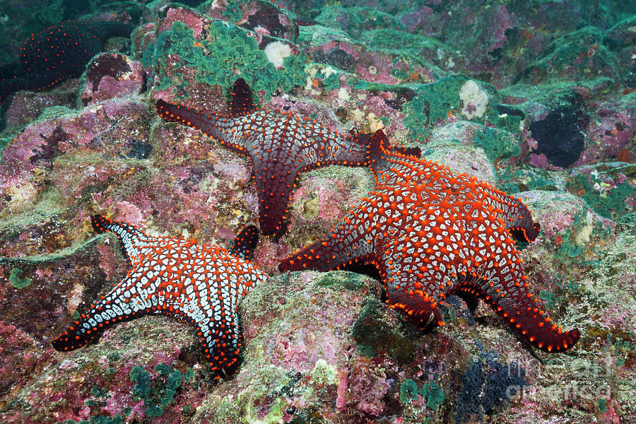 Knobby Starfish Photograph - Knobby Starfish by Reinhard Dirscherl/science Photo Library