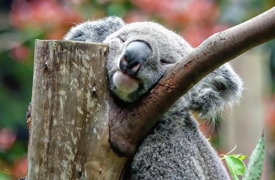 Koala Bear Photograph - Koala Catching Zs by Rick Lawler