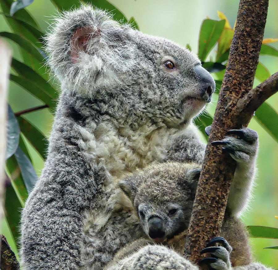Koala Photograph - Koala Cuteness by Rick Lawler