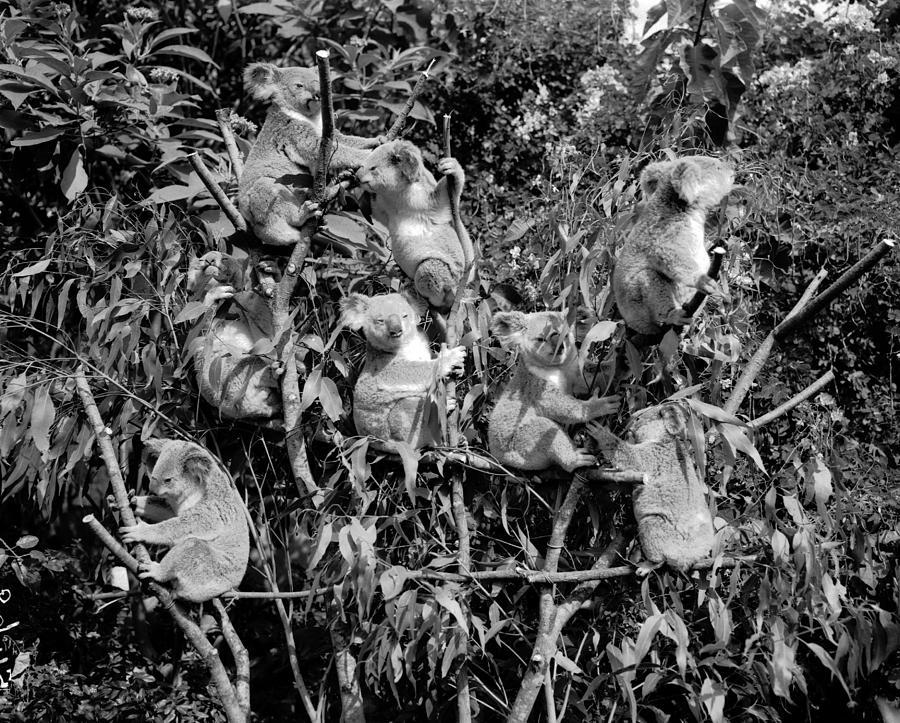Tree Painting - Koalas Lone Pine Koala Sanctuary 1962 by Celestial Images