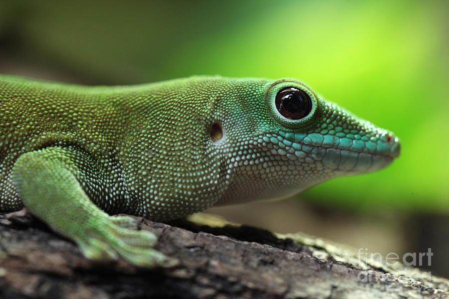 Fauna Photograph - Kochs Giant Day Gecko Phelsuma by Vladimir Wrangel