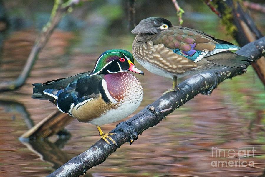Kodachrome Ducks by Craig Leaper