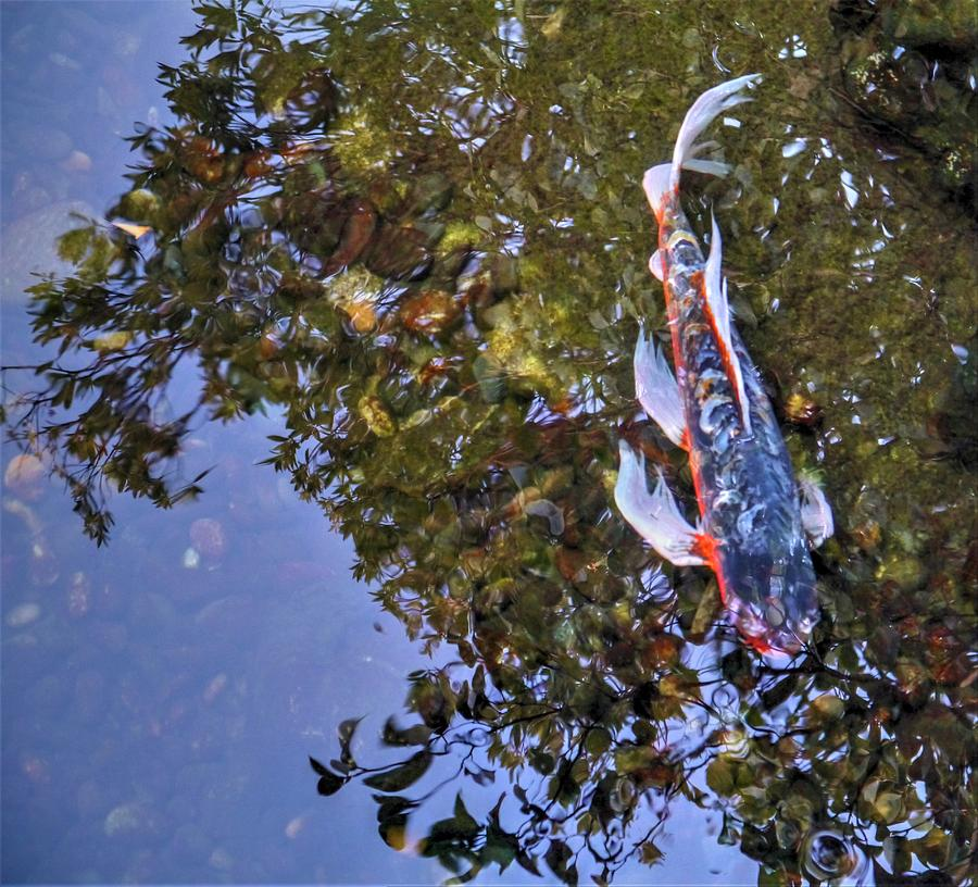 Koi Abstract by Peter Mooyman