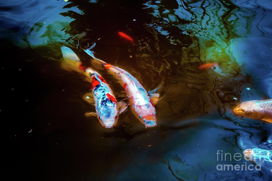 Koi Fish by Colleen Kammerer