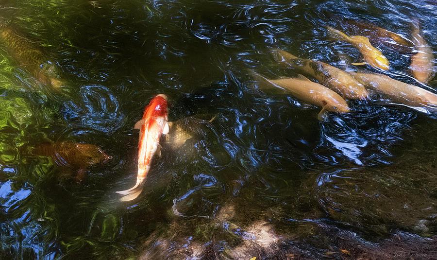 Koi Fish by John Rivera