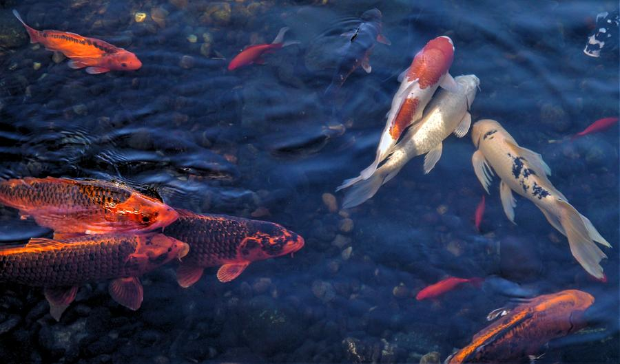 Koi Group by Peter Mooyman