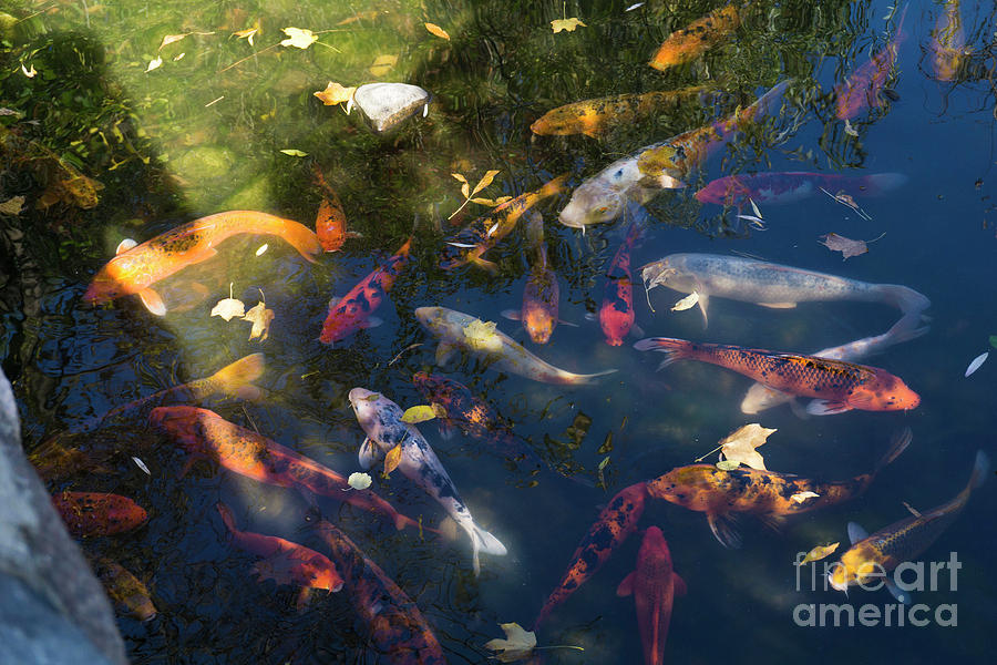 Koi With Leaves by Randall Saltys