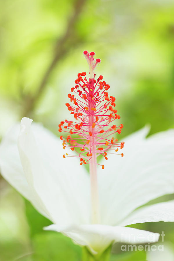 Kokio Keokeo Hibiscus - Native Hawaiian Flower by Charmian Vistaunet