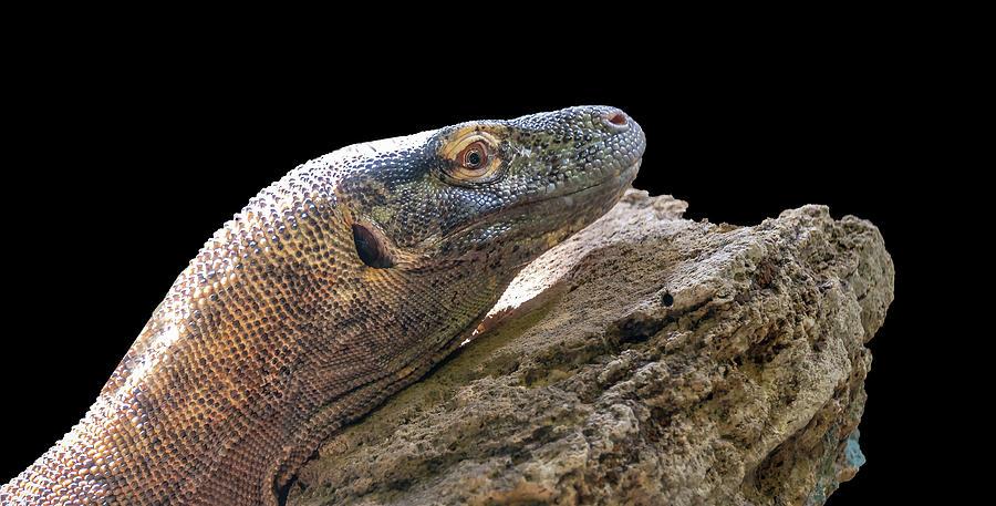 Komodo Dragon by Philip Rispin