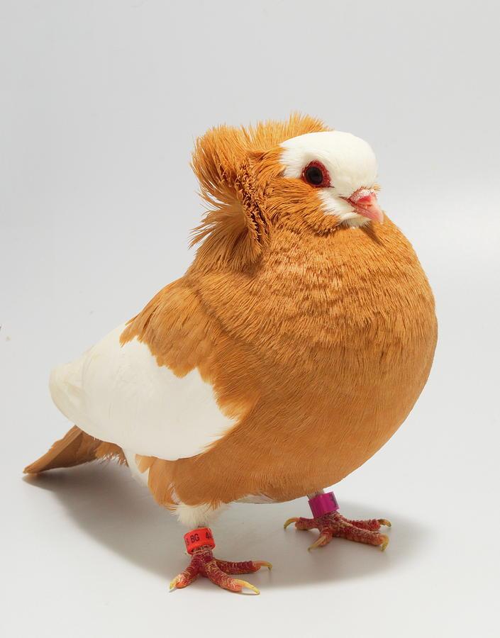 Komorner Pigeon by Nathan Abbott