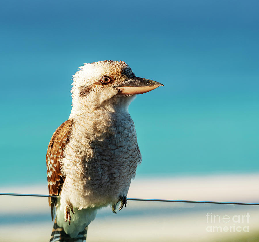 Kookaburra At Beach by Tim Hester