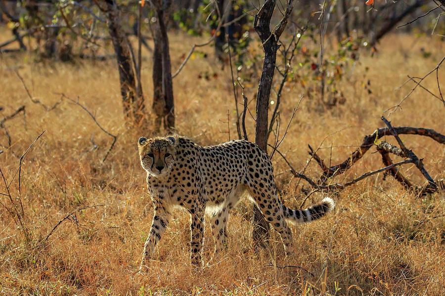 Kruger Cheetah by Gary Hall