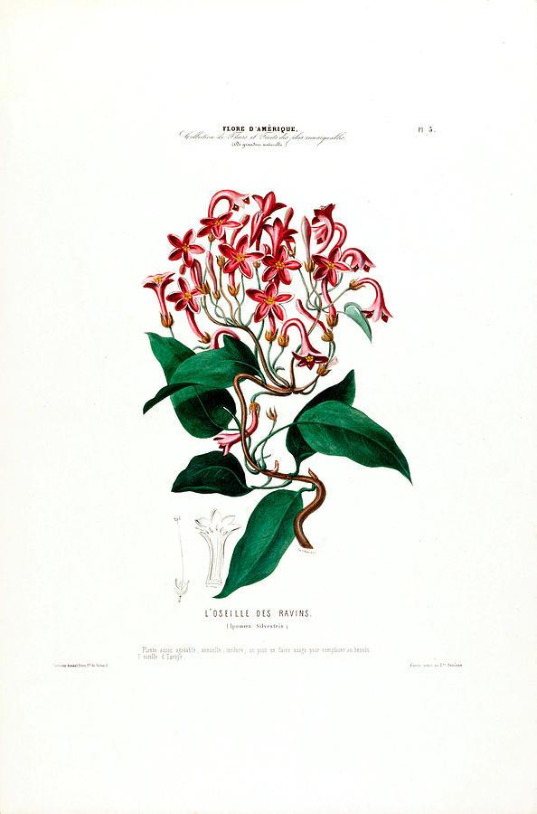 L' Oselle Des Ravens Vintage Botanical Flore D Amerique  by Vintage Botanical Gallery