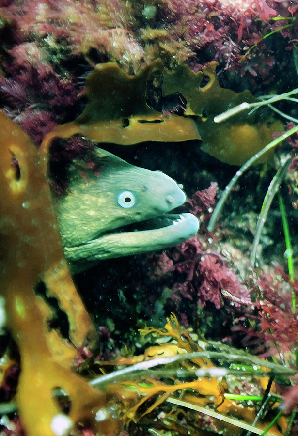 La Jolla Cove Moray by Anthony Jones
