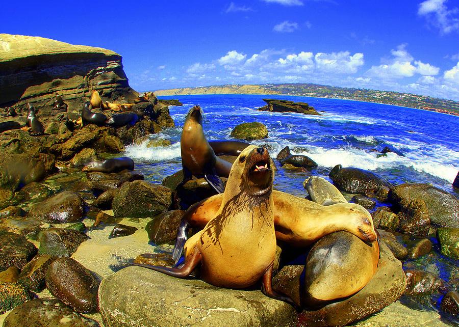 La Jolla Sea Lions  Photograph by Todd Hummel