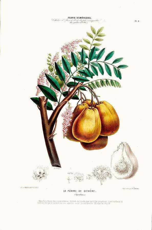 La Pomme De Cithere Vintage Botanical Art Flore D Amerique by Vintage Botanical Gallery