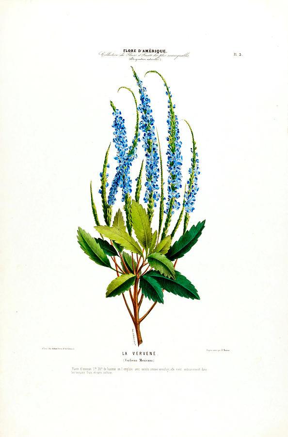 La Vervene Vintage Botanical Flore D Amerique  by Vintage Botanical Gallery