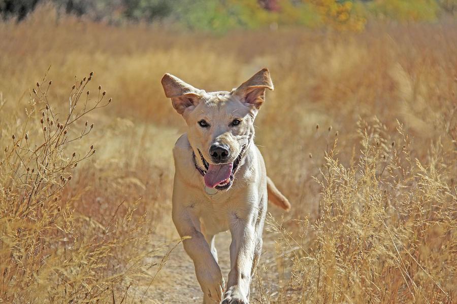 Yellow Labrador Retriever Pup Autumn Run Photograph