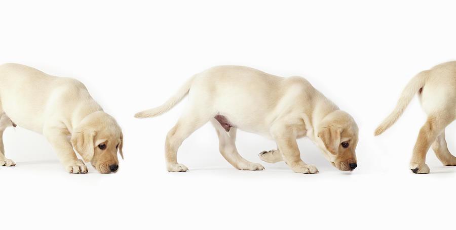 Labrador Retriever Puppy Walking Photograph by Uwe Krejci