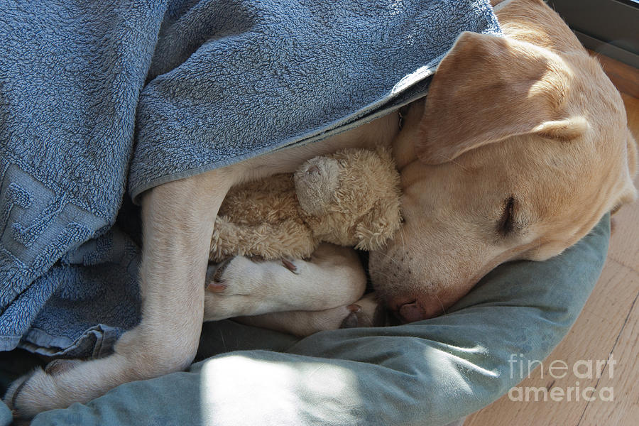 Bed Photograph - Labrador Sleeping And Hugging A Teddy by Davidsunyol