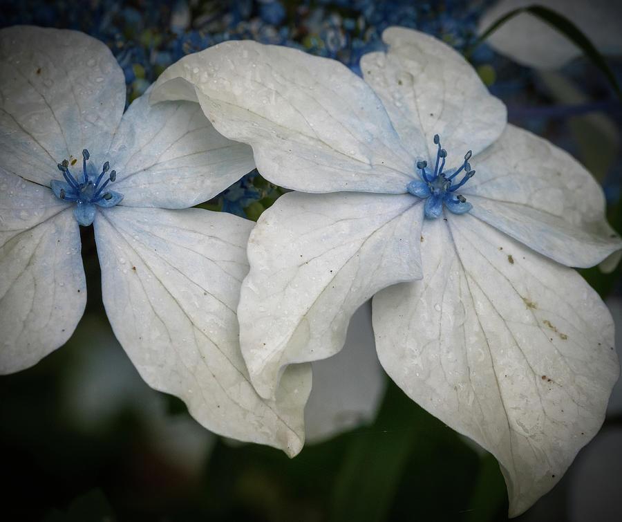 Lace leaf Hydrangea by Jean Noren