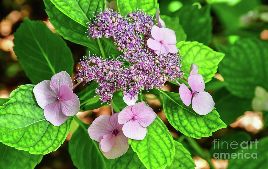 Lacecap Hydrangeas by Diana Mary Sharpton