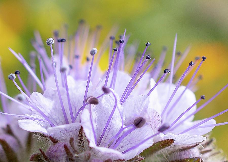Lacy Phacelia Flower Card by Mariola Szeliga