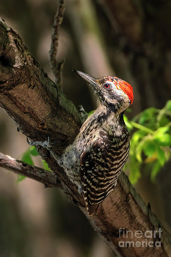 Ladder-backed Woodpecker Photograph