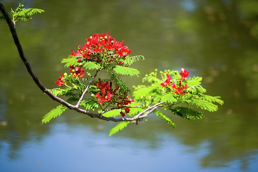 Ladies of the Lake - Royal Poinciana Flowers by T Lynn Dodsworth